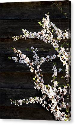 Trees - Blooming Flowers Canvas Print by Donald Erickson