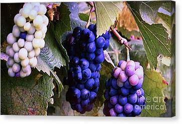 Tri-color Grapes Canvas Print by Linda Phelps