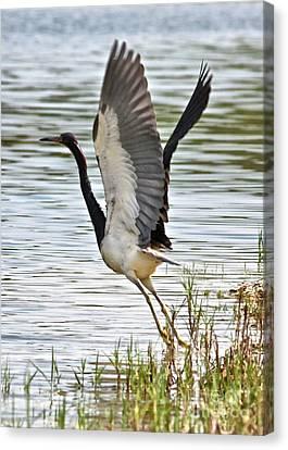 Tri Colored Heron Takeoff Canvas Print by Carol Groenen