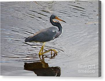 Tri-colored Heron Wading In The Marsh Canvas Print by Carol Groenen