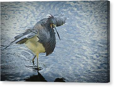 Tricolored Heron Canvas Print by Carolyn Marshall
