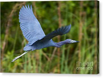 Tricolored Heron Flight Canvas Print by Mike Dawson