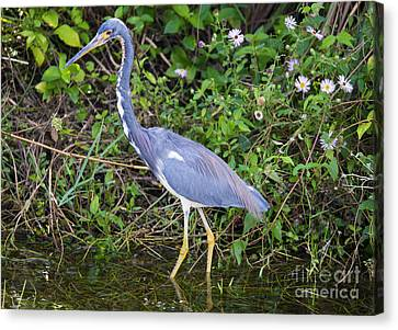 Tricolored Heron Hunting Canvas Print by Mike Dawson