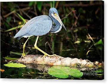 Tricolored Heron Canvas Print by Matt Suess