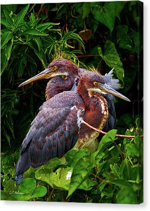 Tricolored Siblings Canvas Print by Christopher Holmes