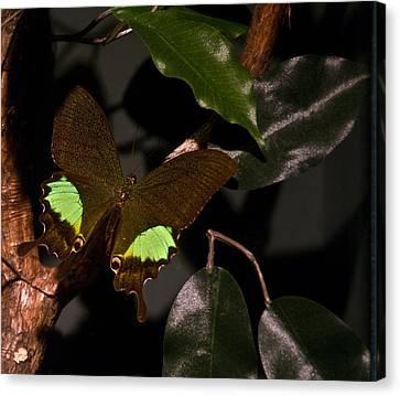 Tropical Buterfly Canvas Print by Douglas Barnett