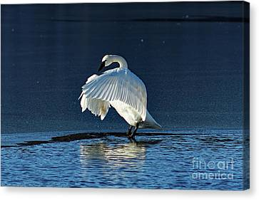 Trumpeter Swan Flapping Canvas Print by Rebecca Warren