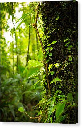 Trunk Of The Jungle Canvas Print by Nicklas Gustafsson