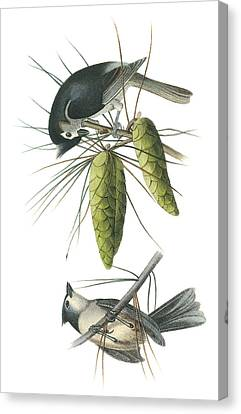 Tufted Titmoust Canvas Print by John James Audubon