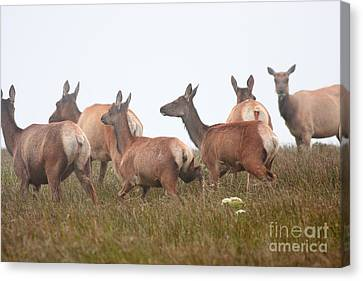Tule Elks Into The Fog Canvas Print by Wingsdomain Art and Photography