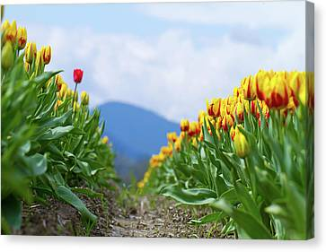 Tulip Farm Canvas Print by Naman Imagery