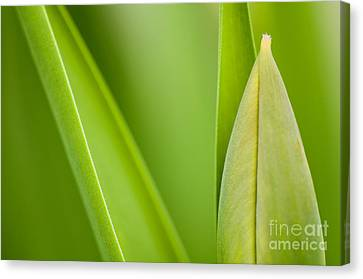 Tulip Canvas Print by Silke Magino