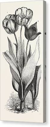 Tulips Canvas Print by English School