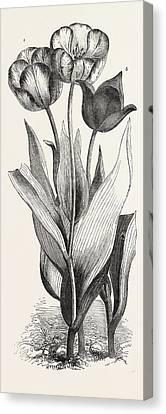 Tulips Canvas Print by English School
