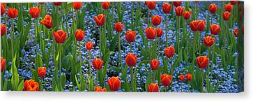 Tulips In A Garden, Butchart Gardens Canvas Print by Panoramic Images