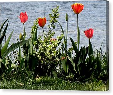 Tulips On The Bay Canvas Print by Kate Gallagher