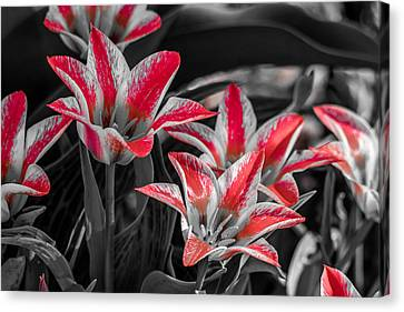Tulips With A Splash Of Color Canvas Print by Michael Putthoff