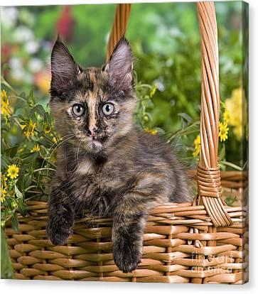 Turkish Angora Kitten Canvas Print by Jean-Michel Labat