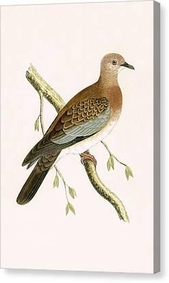 Turtle Dove Canvas Print by English School