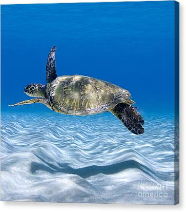 Turtle Flight -  Part 2 Of 3  Canvas Print by Sean Davey