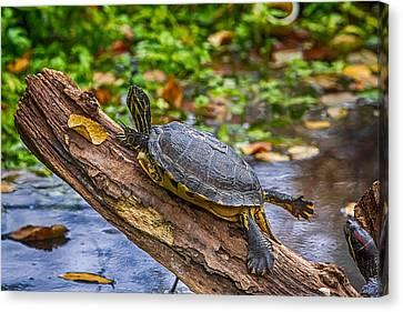 Turtle Yoga Canvas Print by John Haldane