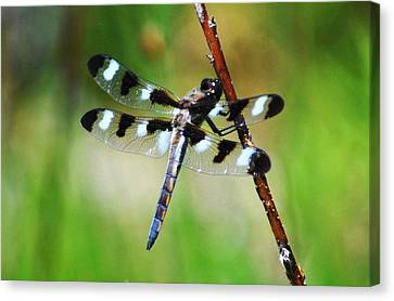Canvas Print featuring the photograph Twelve Spotted Skimmer by Rodney Campbell