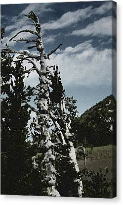 Twisted Whitebark Pine Tree - Crater Lake - Oregon Canvas Print by Christine Till