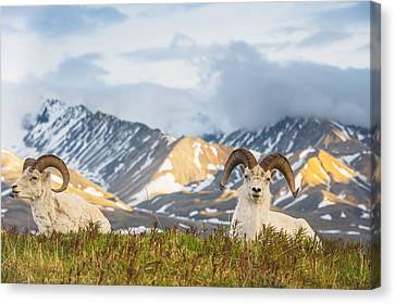 Two Adult Dall Sheep Rams Resting Canvas Print by Michael Jones