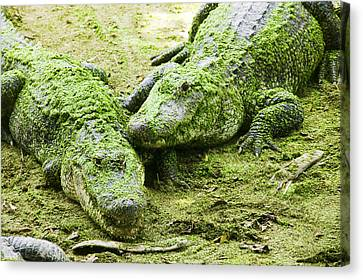 Two Alligators Canvas Print by Garry Gay