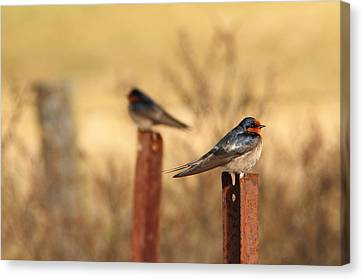 Two Birds - Welcome Swallows Canvas Print by Virginia Halford
