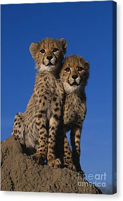 Two Cheetah Cubs Canvas Print by Martin Harvey and Photo Researchers