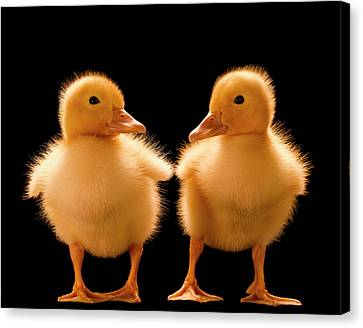 Two Ducklings Looking At One Another Canvas Print by Don Farrall