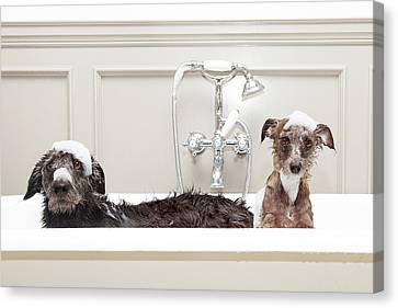 Two Funny Wet Dogs In Bathtub Canvas Print by Susan Schmitz