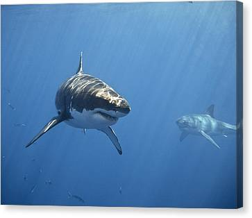 Two Great White Sharks Canvas Print by Photo by George T Probst