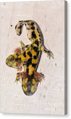 Two-headed Near Eastern Fire Salamande Canvas Print by Shay Levy