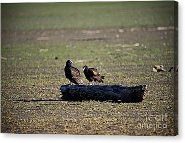 Two Old Buzzards Canvas Print by Charles Dobbs