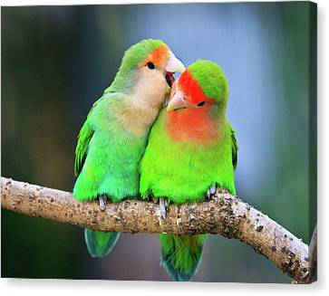 Two Peace-faced Lovebird Canvas Print by Feng Wei Photography