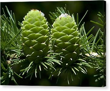 Two Pinecones Canvas Print by Svetlana Sewell