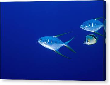 Two Pompano Fish And A Cleaner Fish Canvas Print by James Forte