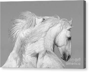 Two White Stallions Play Canvas Print by Carol Walker