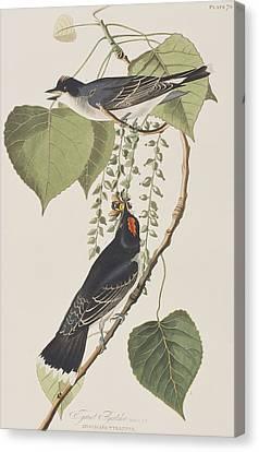 Tyrant Fly Catcher Canvas Print by John James Audubon
