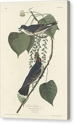 Tyrant Flycatcher Canvas Print by John James Audubon