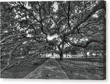Under The Century Tree - Black And White Canvas Print by David Morefield