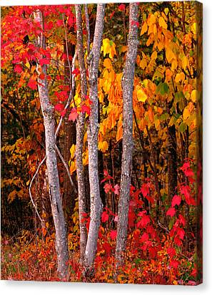 Usa, Maine, Autumn Maple Trees Canvas Print by Panoramic Images