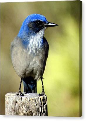 Utah Bird Canvas Print by Marty Koch