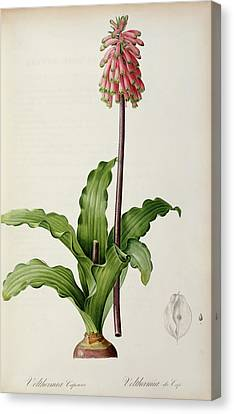 Veltheimia Capensis Canvas Print by Pierre Joseph Redoute