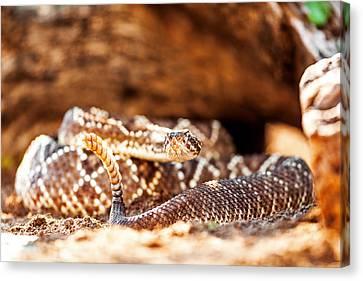 Venomous South American Rattlesnake By Rock Canvas Print by Susan Schmitz
