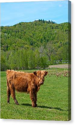 Vermont Cow Canvas Print by Mandy Wiltse