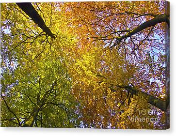 View To The Top Of Beech Trees Canvas Print by Heiko Koehrer-Wagner