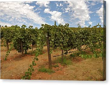 Vineyard Blue Sky Canvas Print by Brandon Bourdages